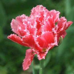 Тюльпан Crispion Sweet фото