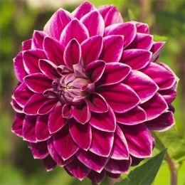 Георгина Purple Pearl фото