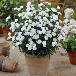 Гвоздика Balcon Белая фото
