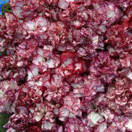 Гвоздика Raspberry Ripple фото