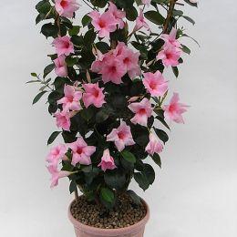 Дипладения Розовая фото