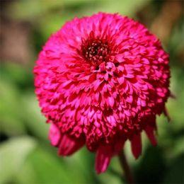 Эхинацея Paso Doble Fuchsia фото