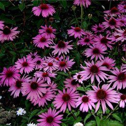 Эхинацея Prairie Splendor Deep Rose фото