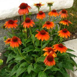 Эхинацея Flamenco Orange фото