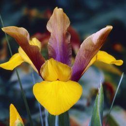 Ирис Hollandica Purple-Bronze-Yellow фото