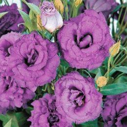 Эустома АВС 3 F1, пурпурная, махровая фото