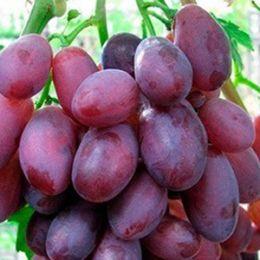 Виноград Дунав фото
