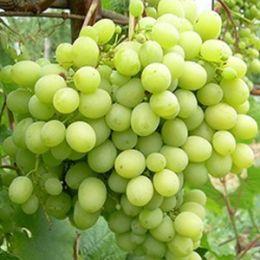 Виноград Мускат Жемчужный фото