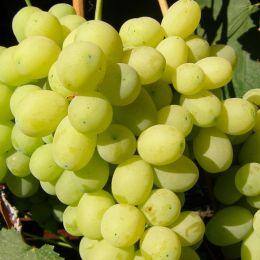 Виноград Лора фото