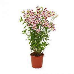 Альстромерия Garden Jewel Lilac Blush фото