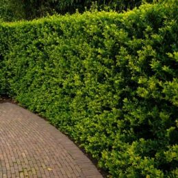 Падуб Green Hedge фото