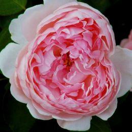 Роза St. Swithun фото