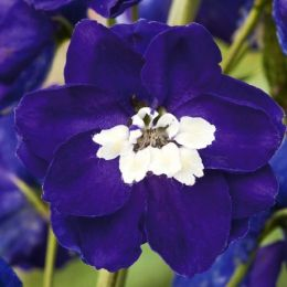 Дельфиниум Magic Fountain Dark Blue White Bee фото