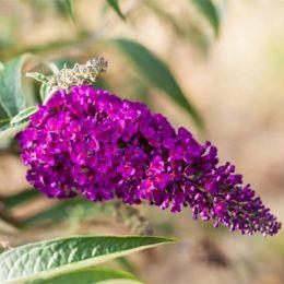 Буддлея Flutterby Pink фото
