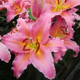 Лилия Spring Romance фото