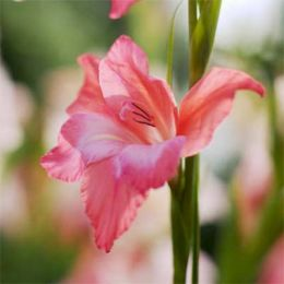 Гладиолус Charming Beauty фото