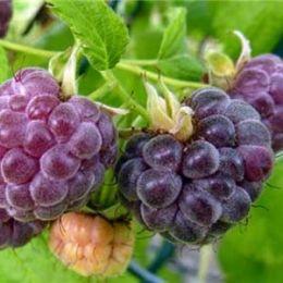 Малина фиолетовая Glencoe Thornless фото