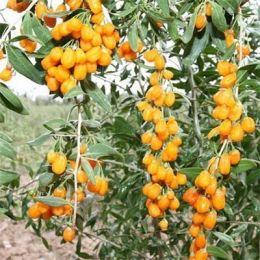 Ягоды Годжи Golden Berry (самоопыляемые) фото