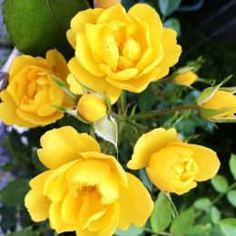 Роза Golden Age фото