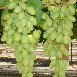 Виноград Кишмиш Долгожданный фото