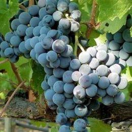 Виноград Каберне Совиньон фото