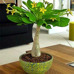 Гавайская Пальма фото