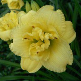 Лилейник Cabbage Flower фото