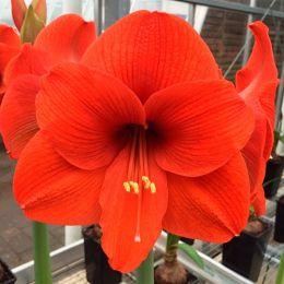 Амариллис Orange Souvereign фото