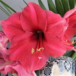 Амариллис Pink Surprise фото