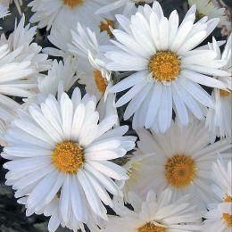Хризантема Майская Королева фото