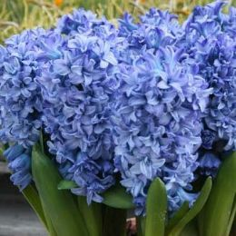 Гиацинт Махровый Blue Tango (горшок 7 см) фото