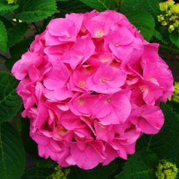 Гортензия Bouqet Rose фото