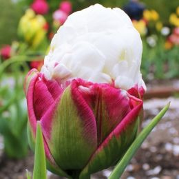 Тюльпан Ice Cream (Айс Крим) фото