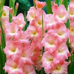 Гладиолус Rose Supreme фото
