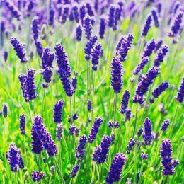 Лаванда Dwarf Blue фото