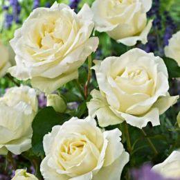 Роза Irene of Denmark фото