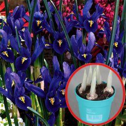 Ирис Reticulata Harmony (горшок 9 см) фото