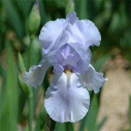 Ирис Blue Sapphire фото