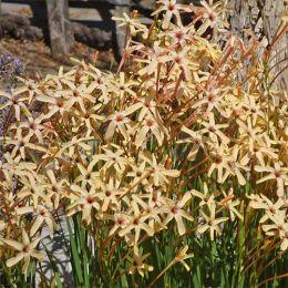 Иксия Paniculata Eos фото