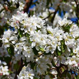 Яблоня домашняя Dolgo фото