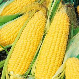 Кукуруза Сахарная Тройная радость фото