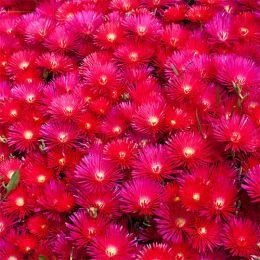 Лампрантус Красный фото