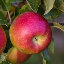 Яблоня Лигол фото