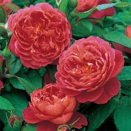 Роза Benjamin Britten фото