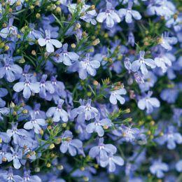 Лобелия Laguna Trailing Blue фото