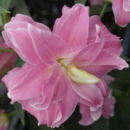 Лилия Lotus Joy фото