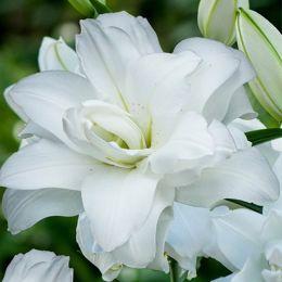 Лилия Lotus Pure фото