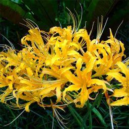 Ликорис Aurea фото