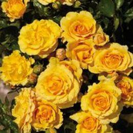 Роза Malbork фото