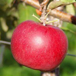 Яблоня Дискавери фото